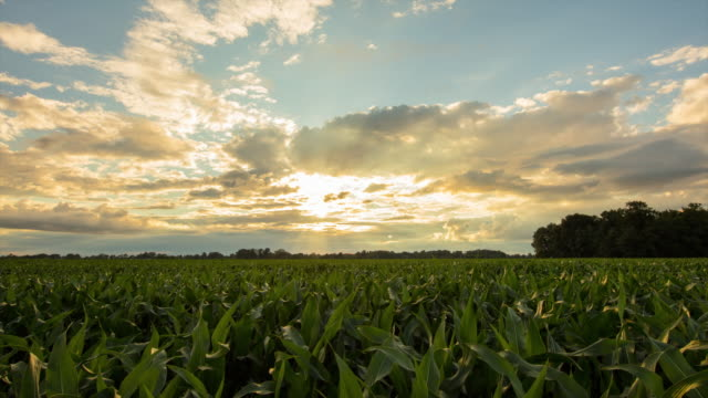 T/L 8K shot of a corn field at dusk video