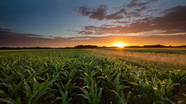T/L 8K shot of a corn field at sunrise video