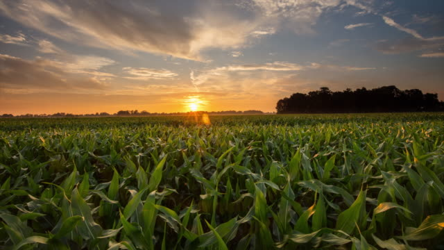 T/L shot of a corn field at sunset