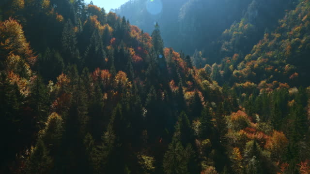 AERIAL shot of a forest in the autumn sun video