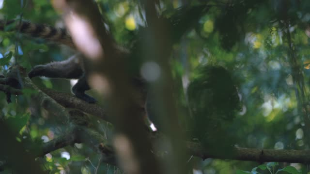 Shot of a nasua climbing up a tree  in the middle of the rainforest in brasil video