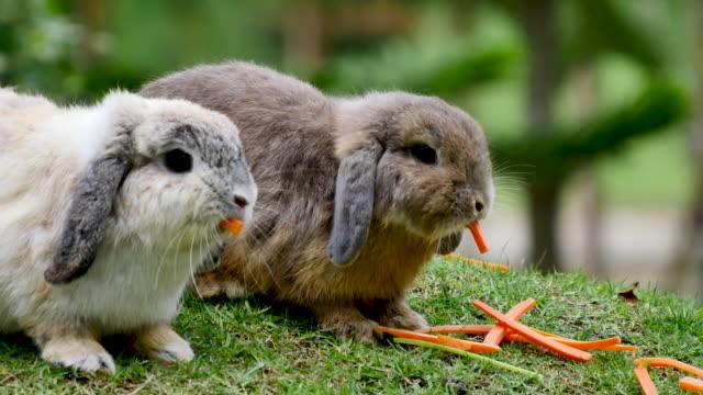 aufnahme eines kaninchens in hof - hase stock-videos und b-roll-filmmaterial