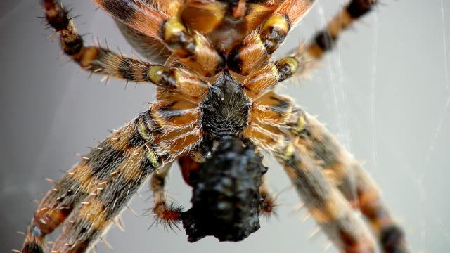 HD MACRO: Shot Of A Spider Eating video