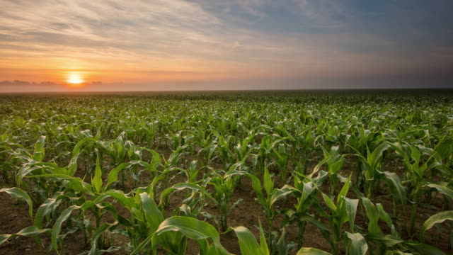 T/L 8K shot of a sunrise over young corn plants video