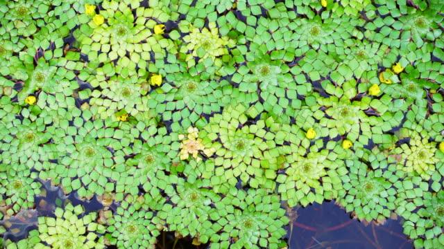 stockvideo's en b-roll-footage met 4k schot van mooie speciale soorten geometrische waterlelies blad drijvend in een vijver met kleine vissen zwemmen onder - naadloos patroon