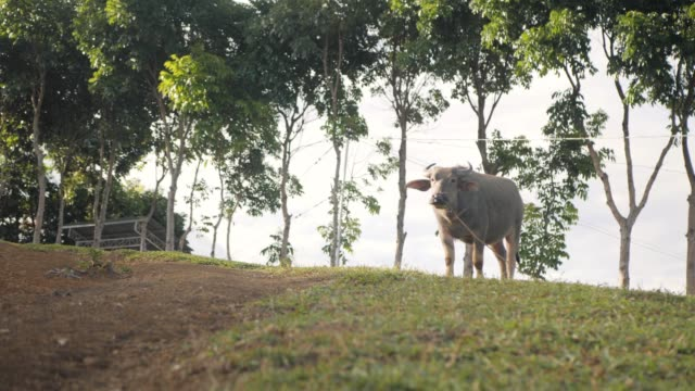 A shot of carabao standing on the pasture hill on a hot sunny day.
