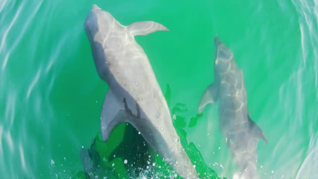 stockvideo's en b-roll-footage met ws shot van dolfijnen vanaf een boot - perzische golfstaten