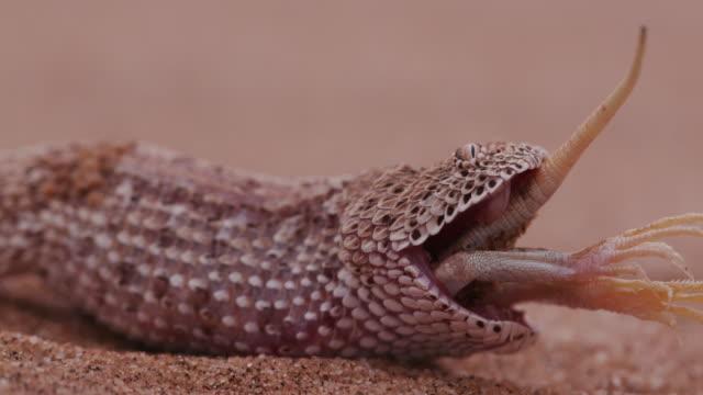 4K shot of sidewinder/Peringuey's adder eating a shovel snouted lizard