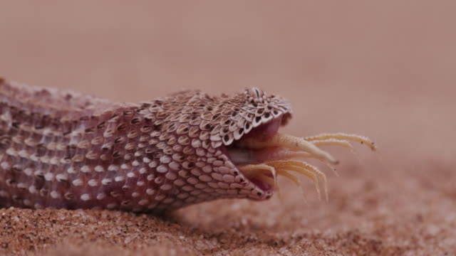 4K shot of sidewinder/Peringuey's adder eating a shovel snouted lizard video