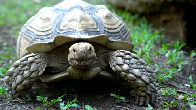 CU Shot of Sulcata Tortoise walking to Camera Close Up Shot of Sulcata Tortoise walking to Camera amphibian stock videos & royalty-free footage