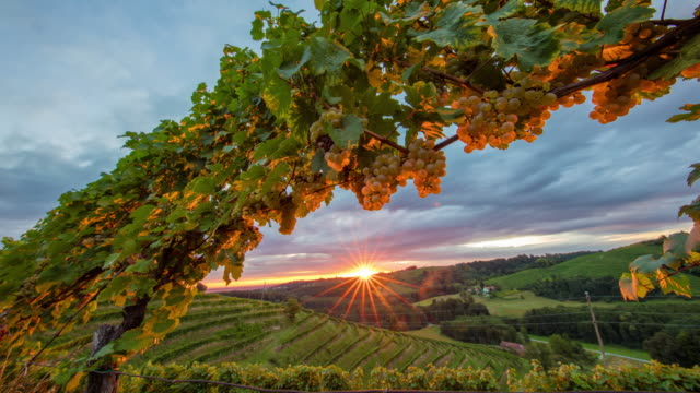 T/L 8K shot of the vineyard at sunset video