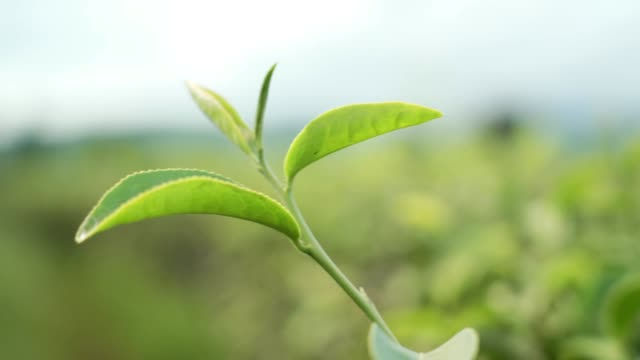 shot of top green tea leaf on tropical plantation, Fresh green grow young leaves background. Beautiful background of fresh green leaves, environment conservation sustainable, beauty in nature
