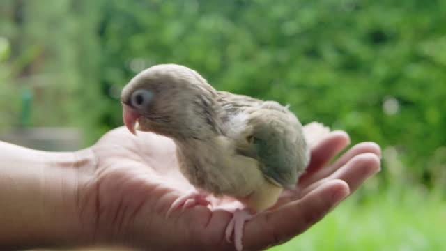 小さな緑色のオウム鳥アウトドアデイシーンを保持する手のひらのSLO MOショットサイドビュー ビデオ