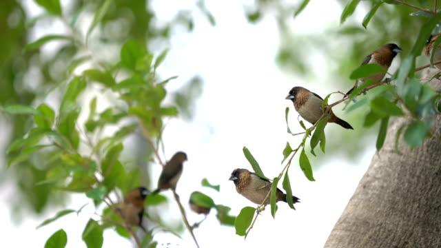 2 Shots White-rumped Munia (Lonchura striata) Birds on Branch with Fruit
