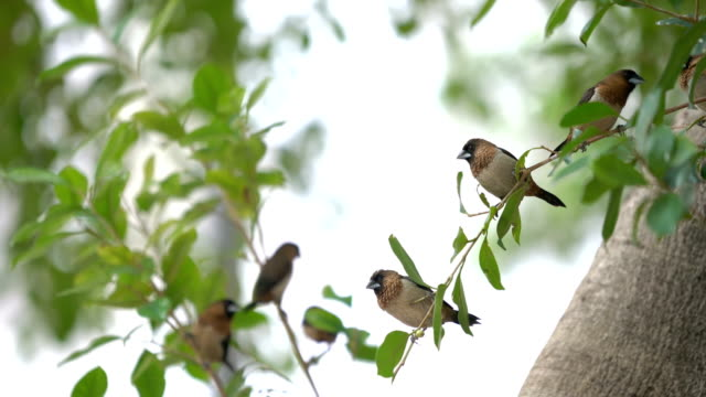 stockvideo's en b-roll-footage met 2 shots bengaalse munia (lonchura striata) vogels op tak met fruit - vogel herfst