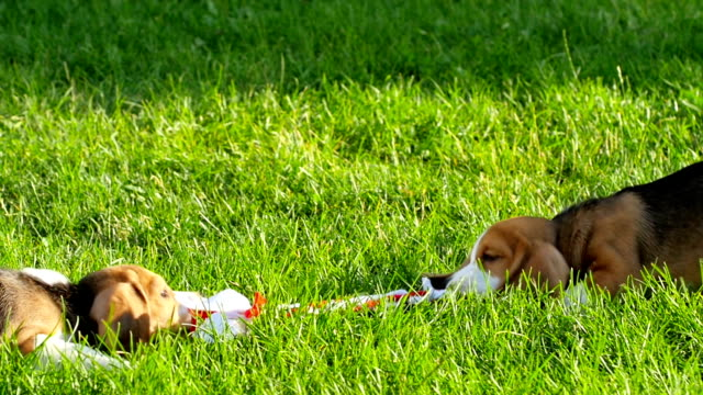 Show beagle on a natural green background playing with toy video