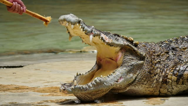 Show Crocodile. (Slow motion) video