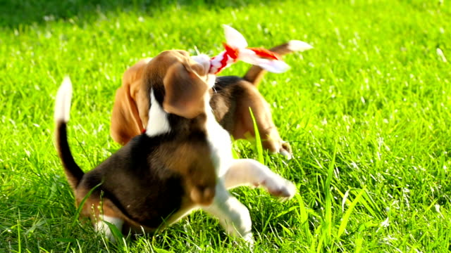 Show dog of breed of beagle on a natural green background playing with toy video