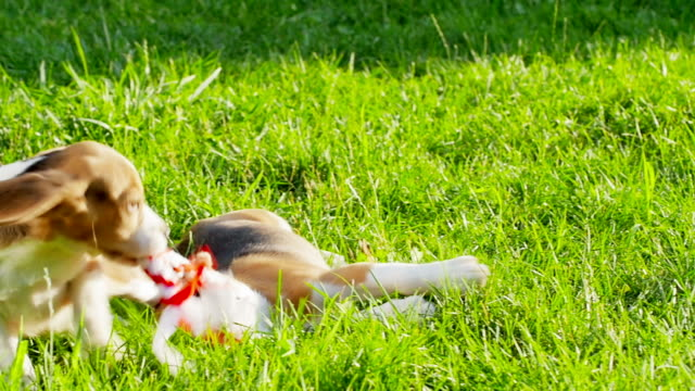Show dog of breed of beagle on a natural green background playing with toy