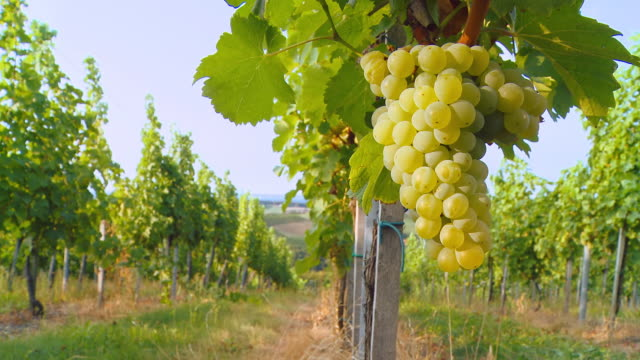 HD DOLLY: Show Over White Grape Vineyard video