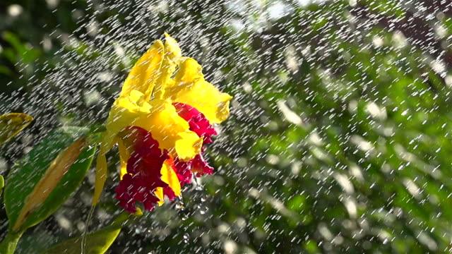 Shower On Cattleya Slow