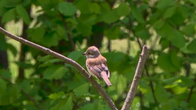 shrike chick is sitting on a dry branch.