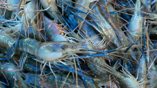 shrimp farm video