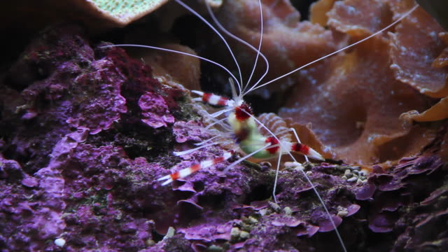 Shrimp walking on the coral. Shrimp walking on the coral. cleaner shrimp stock videos & royalty-free footage