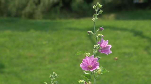 Shy bee tasting campanula flowers video