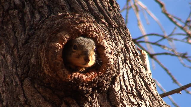 Shy Squirrel A video captured in Oklahoma. hiding stock videos & royalty-free footage