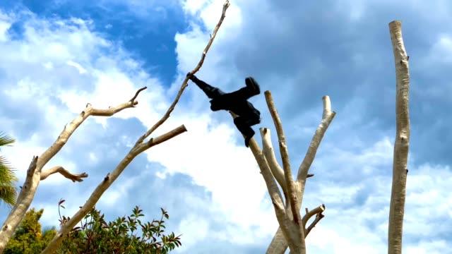 siamang gibbone oscillante e salta su un ramo di un albero - gibbone video stock e b–roll