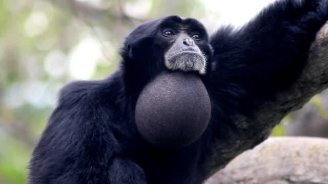 siamango gibbone - gibbone video stock e b–roll