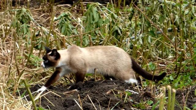 Siamese cat walking among grass video