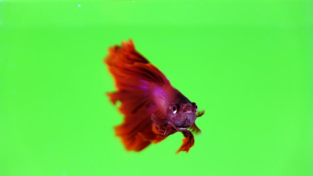 siamese fighting fish betta in color background - ryba filmów i materiałów b-roll