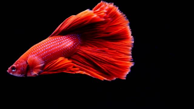 Siamese fighting fish betta slow motion