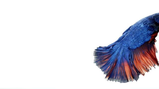vidéos et rushes de poissons de combat siamois betta splendes aquarium belle queue et nageoires de poisson, thai fighting fish ou betta, or bleu et vert thaïlande drapeau demi lune.-ralenti-hd - sky