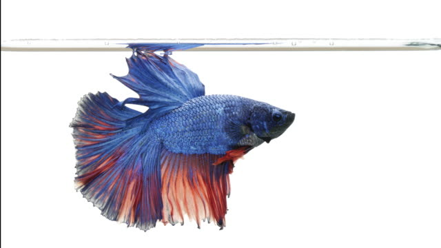 stockvideo's en b-roll-footage met siamese vechten vis betta splendens aquarium mooie staart en vis vinnen, thaise vechten vis of betta, goud blauw en groen thailand vlag halve maan.-slow motion-hd - blue sky
