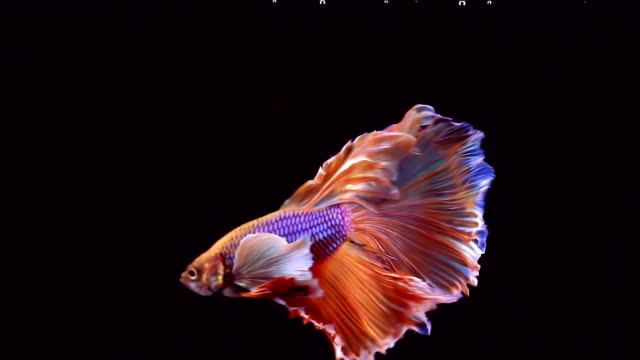 siamese fighting fish betta splendens - sfondo nero video stock e b–roll