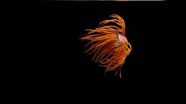 vídeos de stock, filmes e b-roll de peixe-lutador-siamês ou betta desenvolveu uma variedade de nadadeiras, cauda e uma variedade de cores. - organic shapes