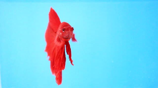 vidéos et rushes de poissons de combat siamois. - nageoire caudale