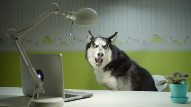 siberian husky dog sitting on chair and singing while watching laptop screen. online pet education at home. funny study concept. - cane husky video stock e b–roll