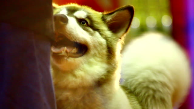 cane husky siberiano - malamute video stock e b–roll