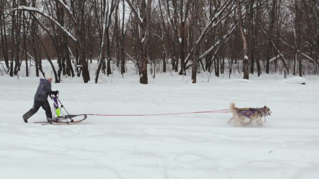 Siberian husky in a dog team. Running in the forest. Riding in sledge with a siberian husky dog team