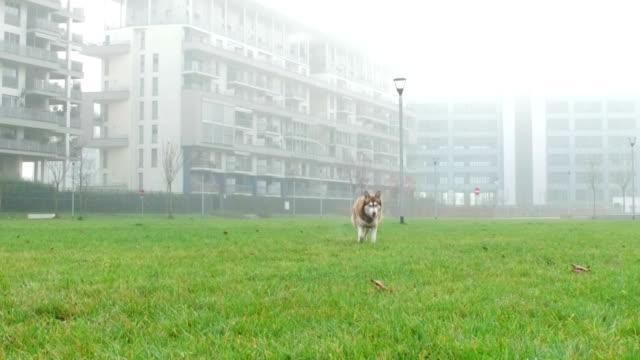 husky siberiano nel parco della città-rallentatore - malamute video stock e b–roll