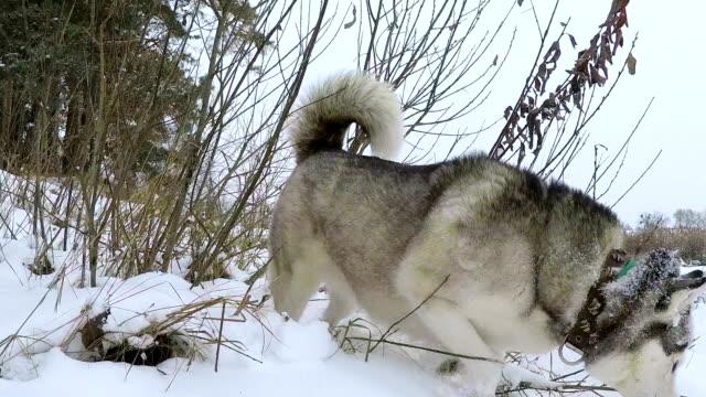 siberian husky in the winter forest. - cane addestrato video stock e b–roll
