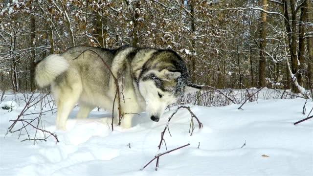 husky siberiano nella foresta invernale. - cane husky video stock e b–roll