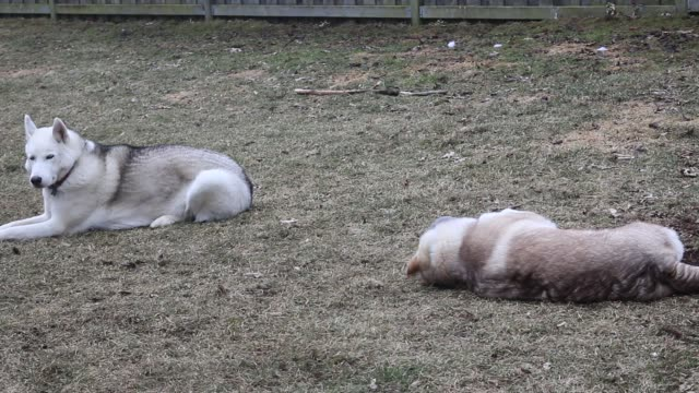 siberian husky playing with teddy bear outside - malamute video stock e b–roll