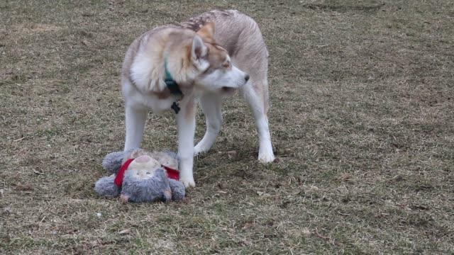siberiano husky giocare con orsacchiotto fuori - malamute video stock e b–roll