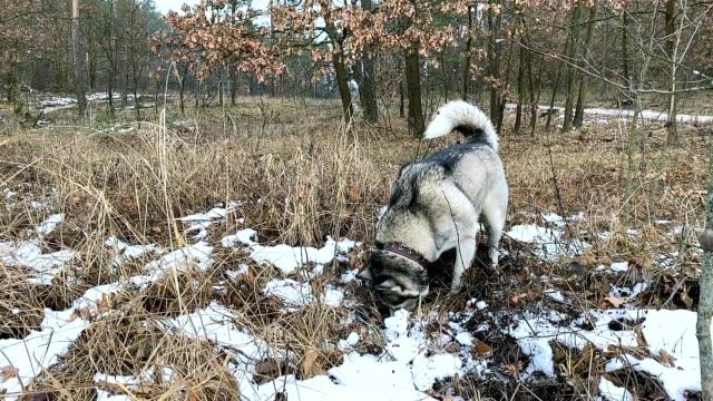 Siberian Husky preys on a field mouse.