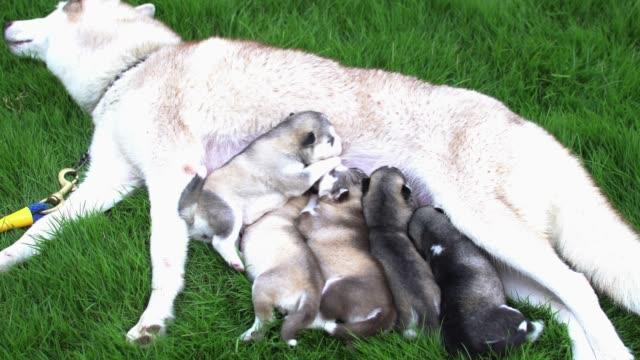 Siberian Husky puppies eat mother's milk.